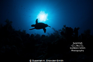"""Icarus"" - In early morning light, a hawksbill turtle is ... by Susannah H. Snowden-Smith"